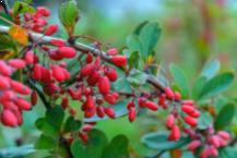 Berberis Hedge Plants
