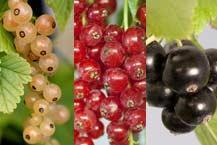 Black, White, Redcurrants