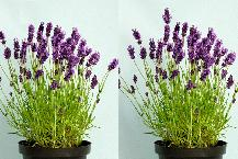 English Lavender Plants