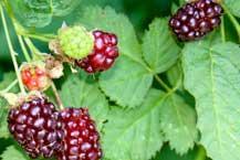Hybrid Berry Bushes