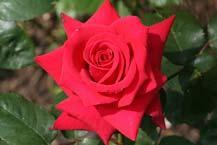 Hybrid Tea Roses