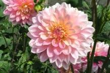 Waterlily Dahlias