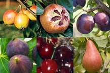 Buy mature fruit trees uk