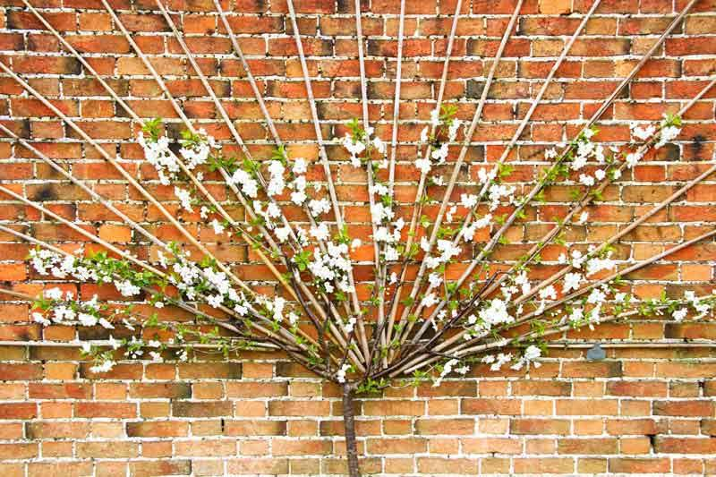 Espalier and Fan trained fruit trees