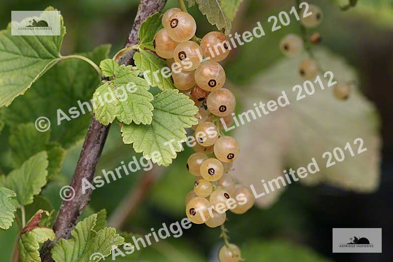 Growing Whitecurrants and Redcurrants