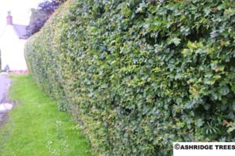 Hawthorn Hedging How To Clip A Hawthorn Hedge