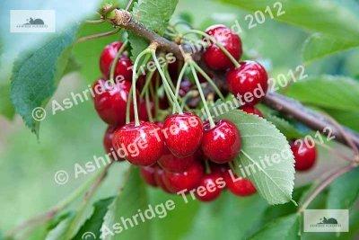 Advice On Buying Cherry Trees Ashridge Nurseries