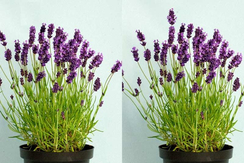Hidcote Lavender Plants