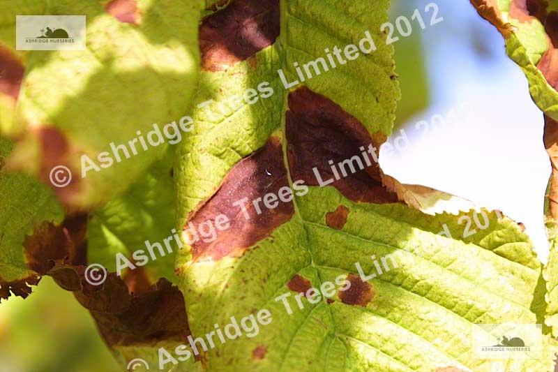 leaf blotch