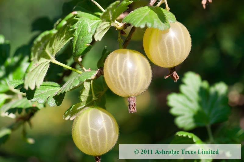 Invicta Gooseberry Bushes