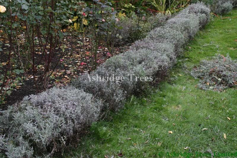 Pruning Lavender Plants Advice From Ashridge Nurseries