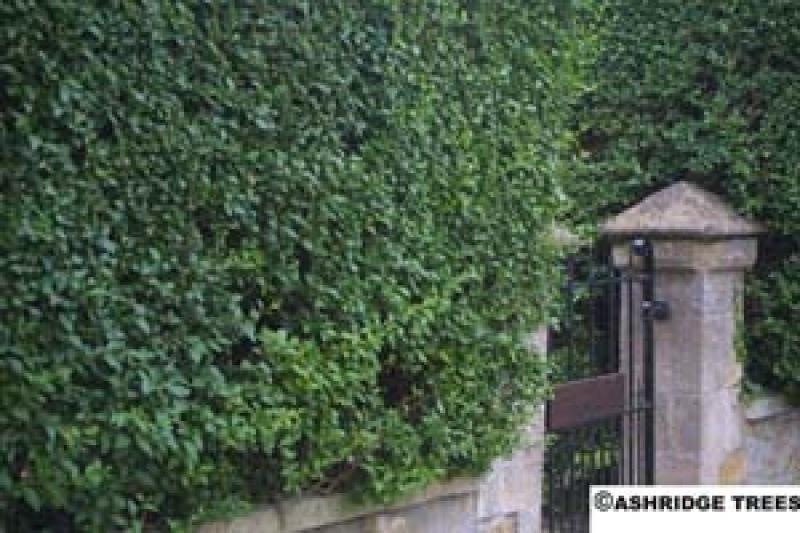 privet hedging