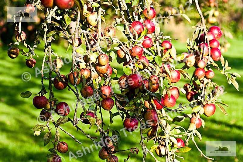 Apple Tree Information Fruit Tree Advice Ashridge Nurseries