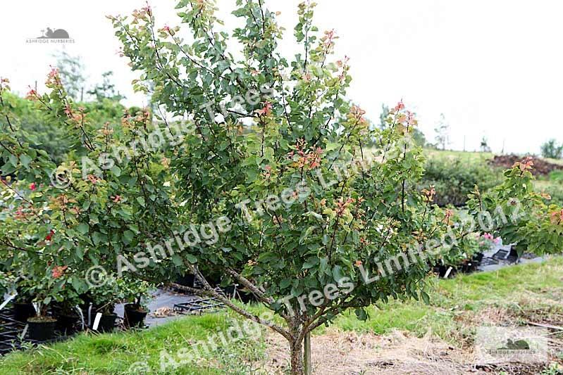bush fruit tree