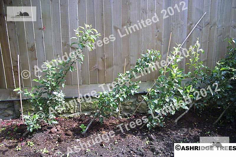 What Are Cordon Fruit Trees Garden Advice Ashridge Nurseries