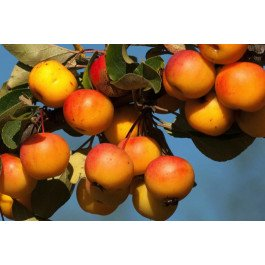 Crab apple, Malus Butterball