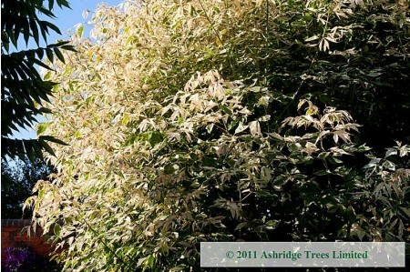 Elder, Variegated Box - Standard