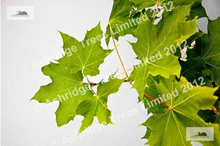 Norway Maple Foliage