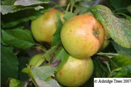 Apple Trees - Lord Lambourne