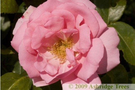Bantry Bay - Climbing Rose