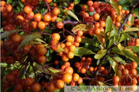Hedge Plants with Berries
