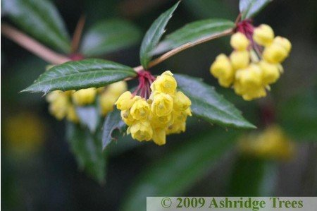 Berberis julianae Flowers