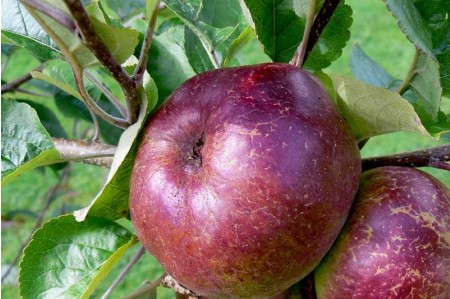 Ripe Black Dabinett Cider Apples