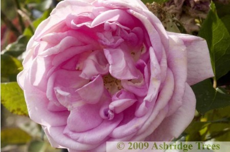 Blairii No 2 - Climbing Rose