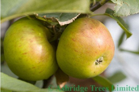 Blenheim Orange Apples (Nearly Ripe)