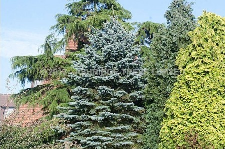 Picea Pungens Glauca - Blue Spruce