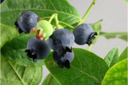 Earliblue Blueberry Plant