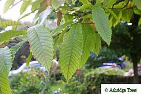 Sweet Chestnuts Leaves