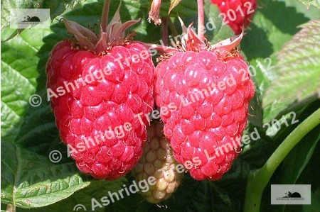 Cascade Delight Raspberry Plants for Sale