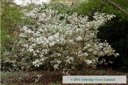 Variegated Dogwood in Woodland