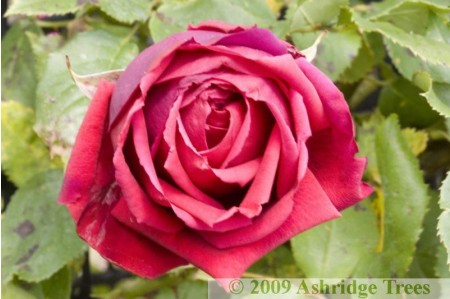Crimson Glory Climbing Rose