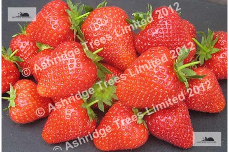 Cupid Strawberry Plants for Sale