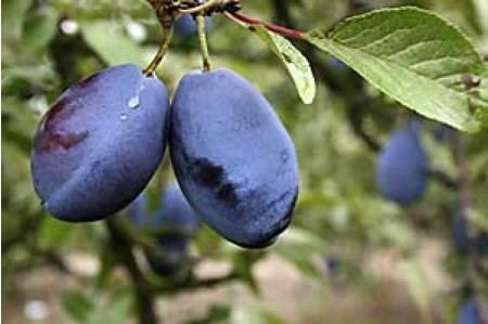 Damson Trees - Shropshire Prune