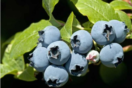 Ripe Duke Blueberries