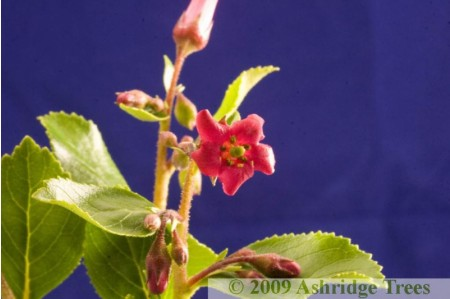 Escallonia Crimson Spire Flowers