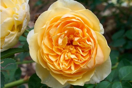 Golden Celebration Rose (Ausgold)