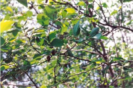Grey Alder Leaves and Catkins
