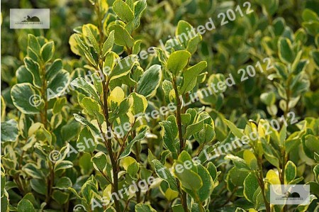 Variegated New Zealand Privet