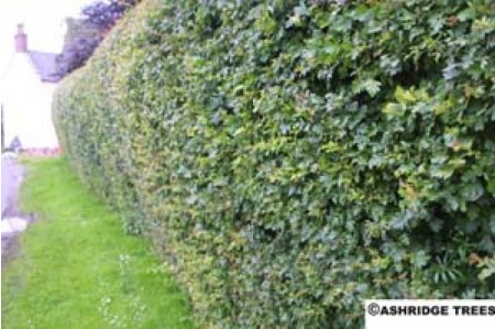 Hawthorn Hedging - How To Clip a Hawthorn Hedge