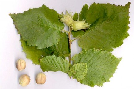 Hazel Leaves & Nuts