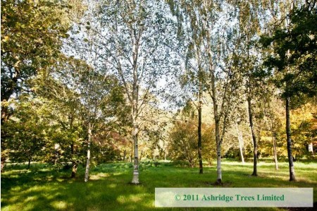 Himalayan Birch Trees