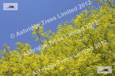 Honey Locust Tree - Foliage