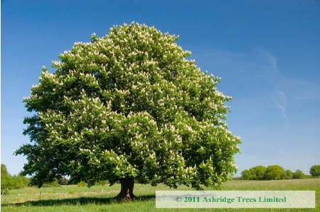 Common Horse Chestnut in Flower