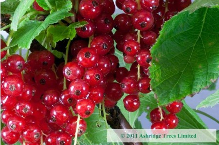 Ripe Junifer Redcurrants