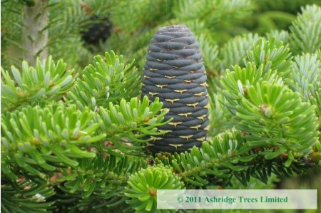 Korean Fir with Cones