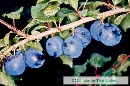 Bullace Trees - Langley Bullace